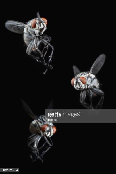 Swarming Flies
