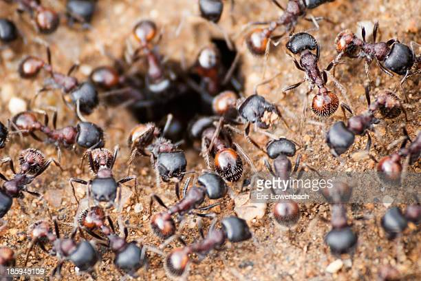 Swarming red ants