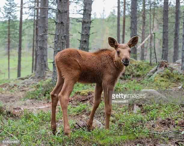 Sweden, Dalarna, juvenile elk in forest