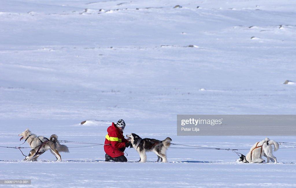 Sweden, Lapland, Kebnekaise, woman tending to siberian husky in snow : Stock Photo