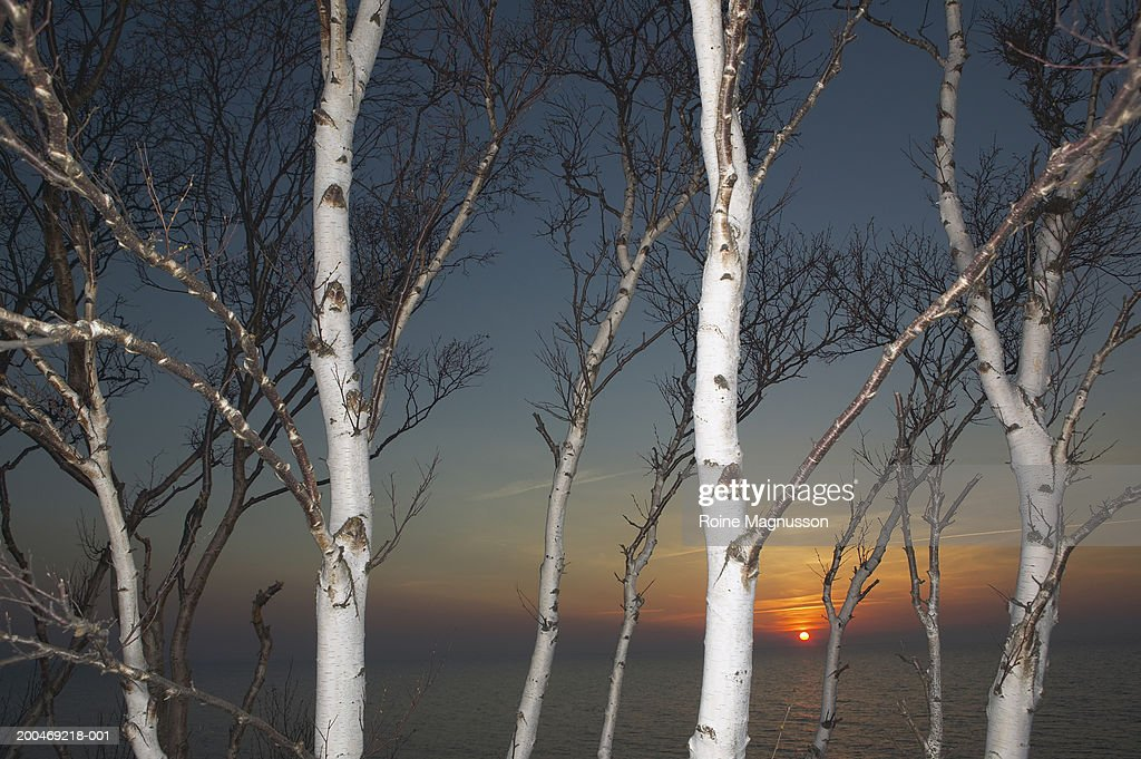 Sweden, Smaland, bare birch trees and seascape at dusk : Stock Photo