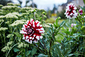 Front or Back Yard, Garden, flower, Summertime, dahlia