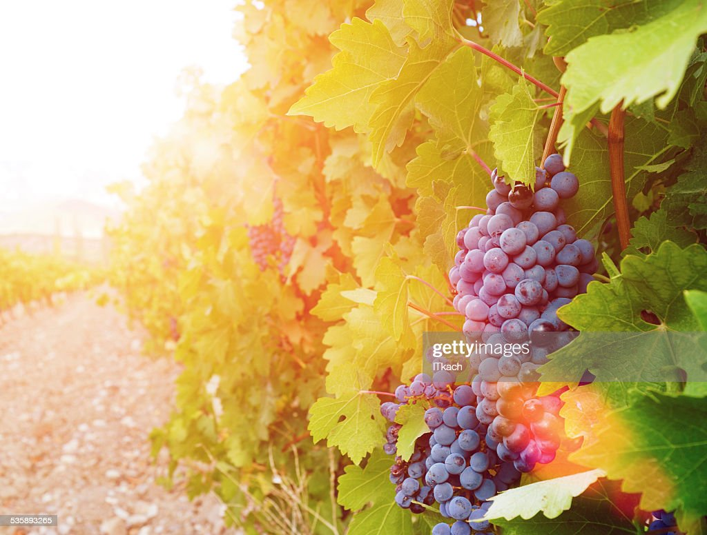Sweet and tasty blue grape bunch : Stock Photo