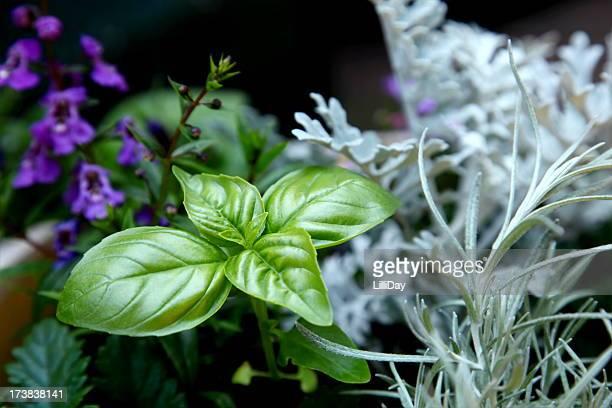 Sweet Basil im Garten