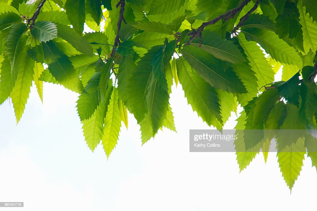 Sweet chestnut leaves against a white background