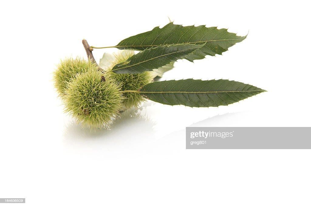Sweet chestnut XXXL