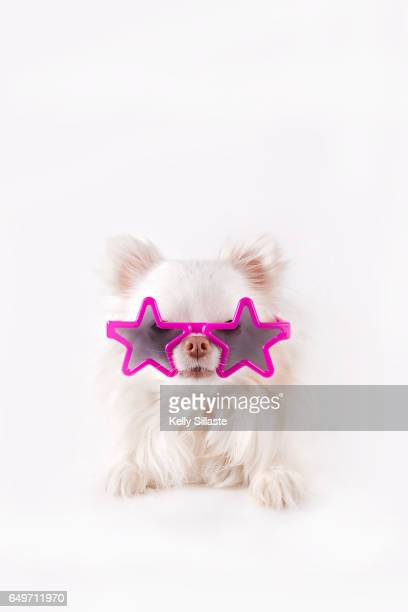 Sweet Chihuahua Puppy Wearing Fun Glasses