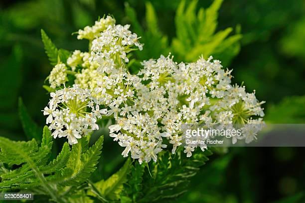Sweet Cicely -Myrrhis odorata-, Europe
