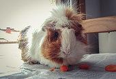 Guinea pig eats carrots near the window