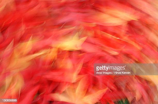 Sweet Gum Tree leaves in autumn (Liquidambar styraciflua pendula)