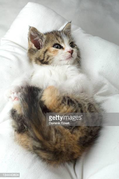 Sweet little kitten lying on a pillow