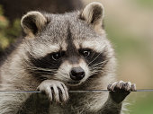 A sweet little racoon
