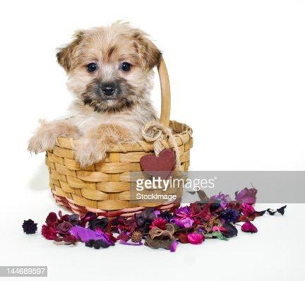 Sweet  morkie  puppy : Stock Photo
