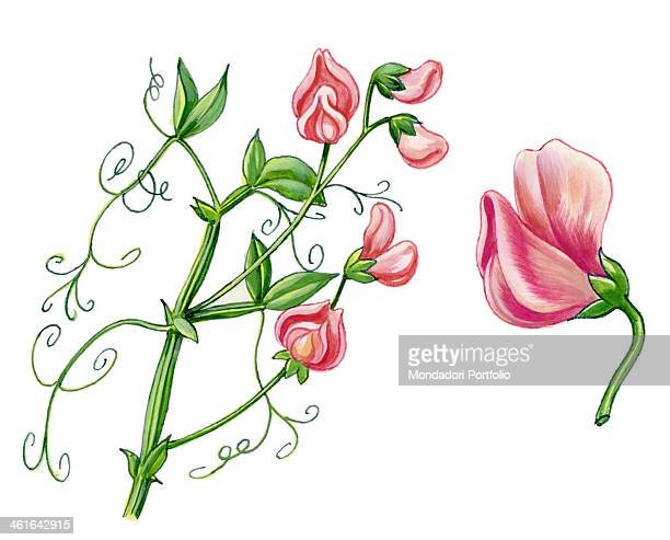 Sweet pea by Giglioli E 20th Century ink and watercolour on paper Whole artwork view Drawing of the plant and the flower of Sweet pea