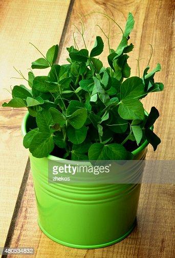 Sweet Pea : Stock Photo