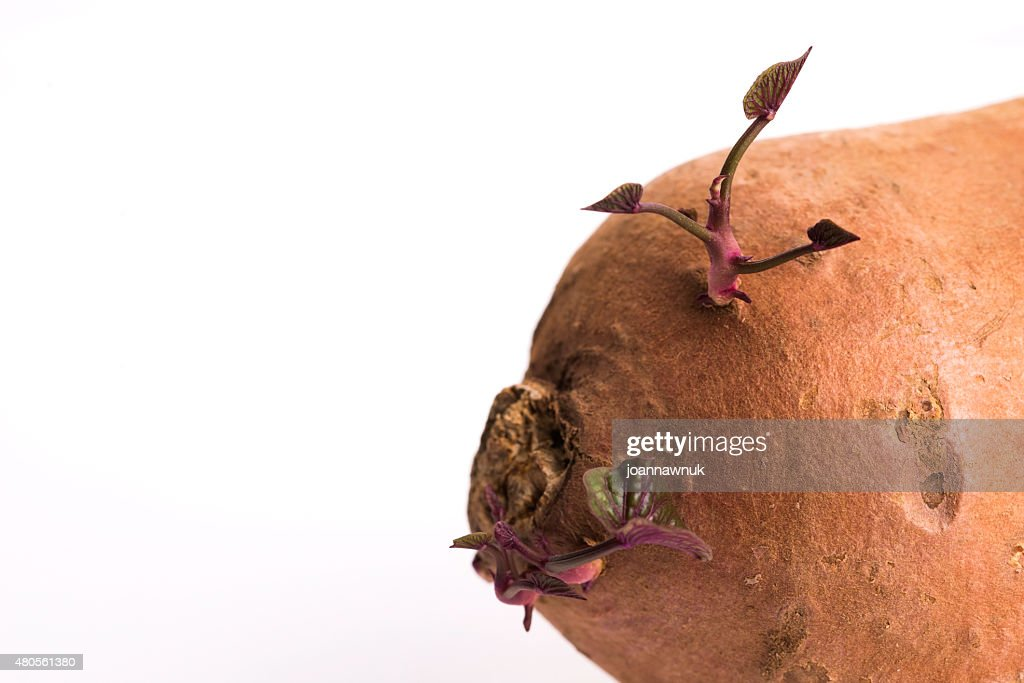 Sweet potato with sprout, white background : Stock Photo