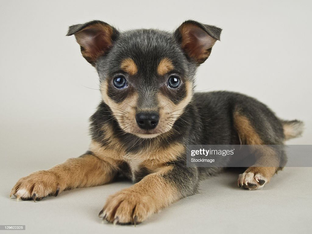 Sweet puppy on white background : Stock Photo
