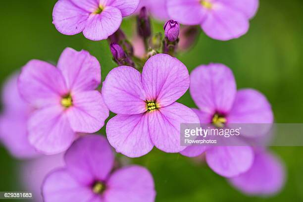 Sweet rocket Hesperis matronalis Close view of flower spike of four petalled pale purple flowers