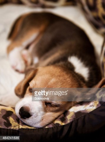 Sweet sleeping beagle puppy : Stock Photo