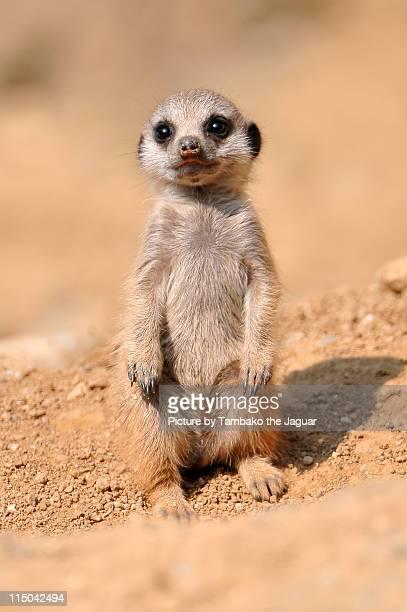 Sweet standing baby meerkat.