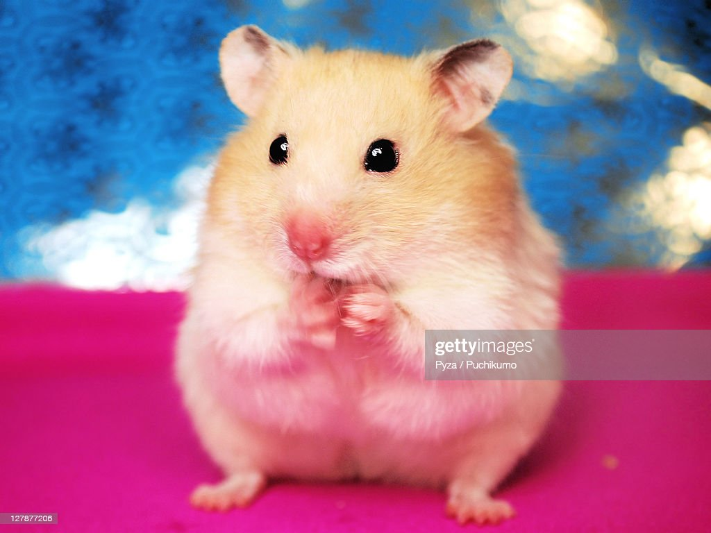 Sweet Syrian hamster licking her paw : Stock Photo