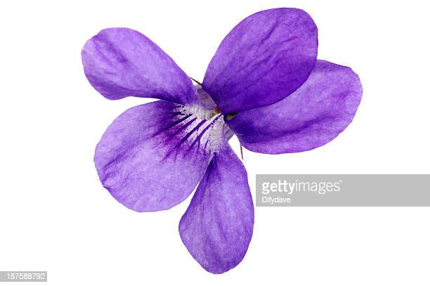 Macro de fleur de Violette odorante