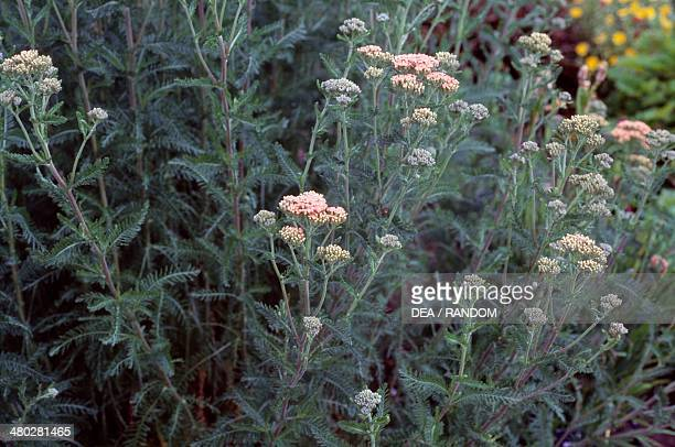 Sweet Yarrow Asteraceae