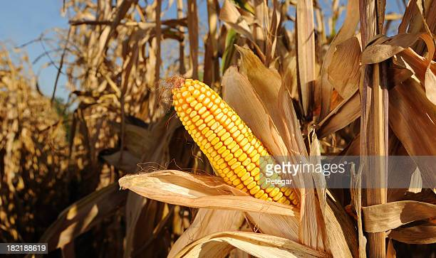 Sweetcorn growing in a cornfield under a blue sky