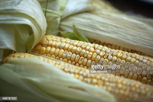 Sweetcorn is displayed inside at RHS London Harvest Festival Show on October 7 2014 in London England Growers from across the UK come together for...