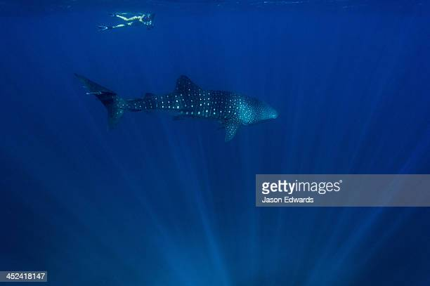 A swimmer with a camera follows a Whale Shark in clear tropical seas.