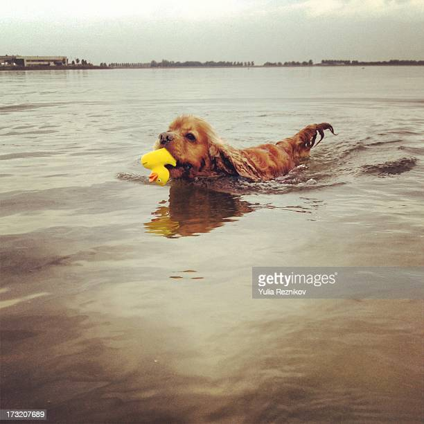 swimming american cocker spaniel dog with toy