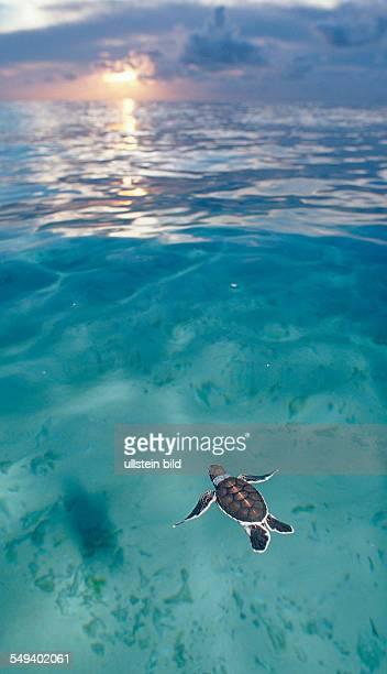 Swimming Baby Green sea turtle green turtle Chelonia mydas Malaysia Pazifik Pacific ocean Borneo Sipadan