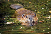Cute swimming beaver in murky lake water