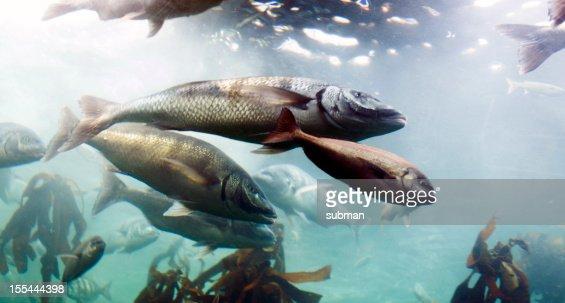 Swimming fish in aquarium