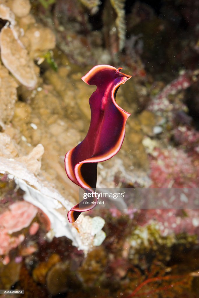 Swimming Flatworm Pseudoceros spec Short Dropoff Micronesia Palau