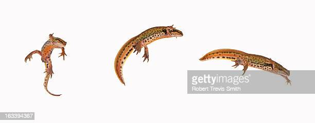 Swimming Palmate Newt Lissotriton helveticus