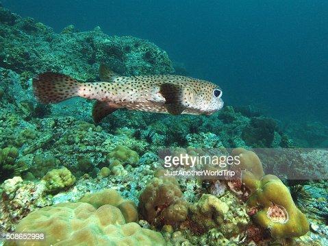 Swimming porcupine fish : Stock Photo