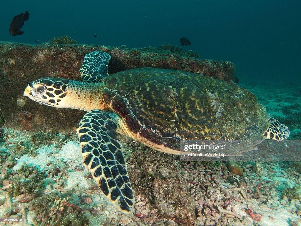 Swimming sea turtle : Stock Photo