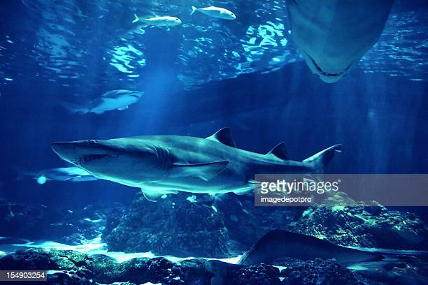 Schwimmen sharks