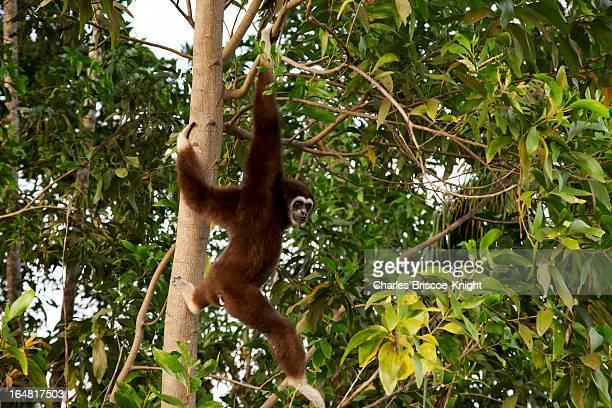 Swinging Dusky monkey