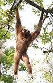 Swinging White-Handed Gibbon