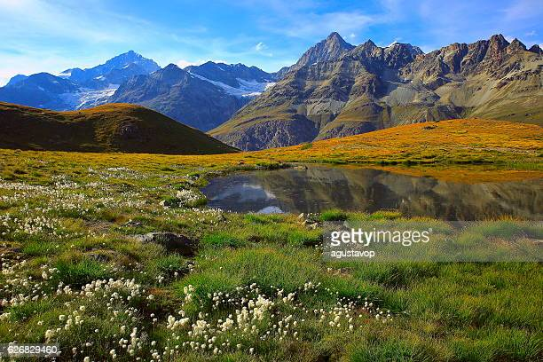 Swiss alps landscape: Alpine Lake reflection, cotton wildflowers meadows, Zermatt