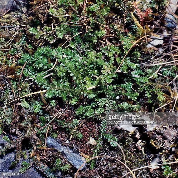 Swiss Clubmoss Selaginellaceae