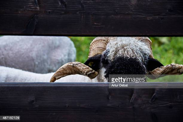 Swiss goat behind the wood fence in Zermatt.