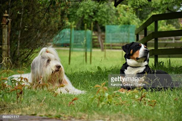 Bearded Collie Stock Photos And Pictures Getty Images