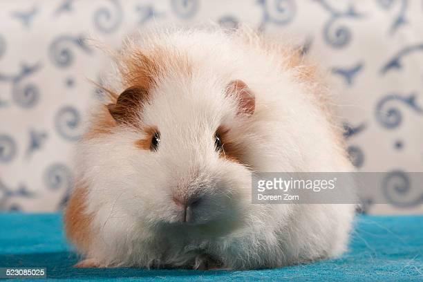 Swiss Teddy guinea pig, pedigree guinea pig