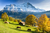 Switzerland, Bernese Oberland, Grindelwald, cows by huts