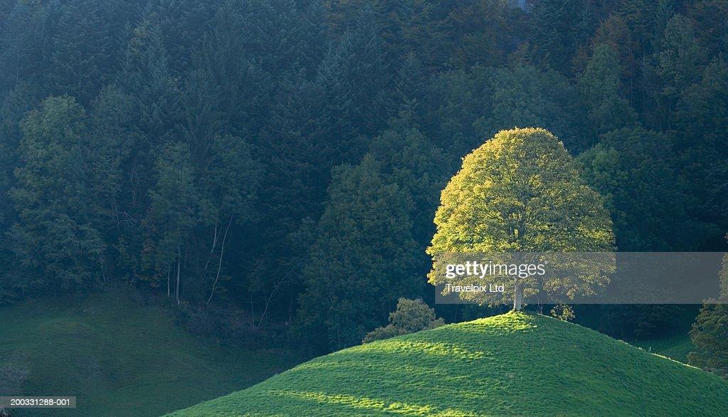 Switzerland, Bernese Oberland, lone tree on hill