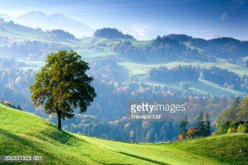 Switzerland, Bernese Oberland, tree on hillside near Thun : ストックフォト