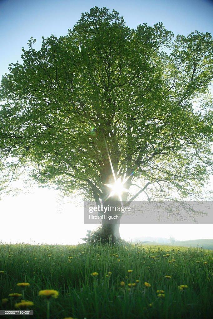 Switzerland, Canton Lucerne, Emmental, sun shining through lime tree : Stock Photo